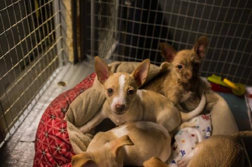 Large image of The Chiweenie Pups