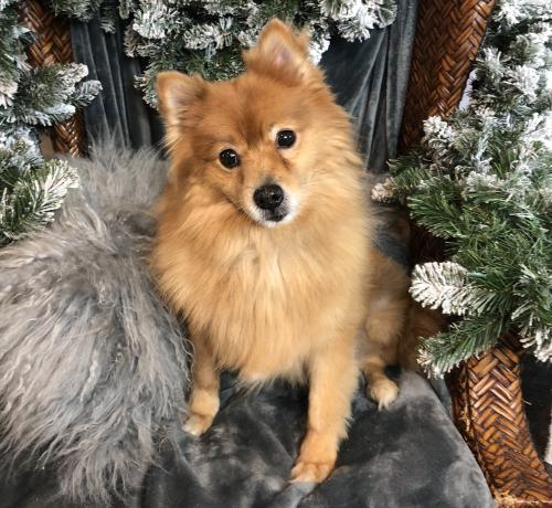 Give Rescue Pets A Second Chance By Donating To Recycled Pomeranians A