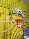 Budgies (8  Available)