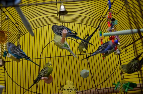 Budgies (7  Available)