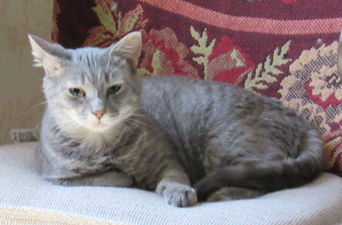 Anna Medium Domestic Short Hair (short coat) Female