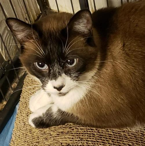 Koko  Domestic Short Hair / Snowshoe / Mixed (short coat) Male