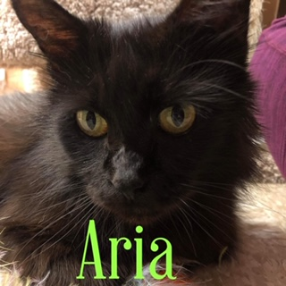 Aria Medium Domestic Long Hair (long coat) Female