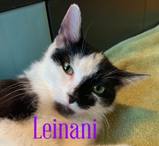 Leinani (with Kelina)  Domestic Short Hair (short coat) Female