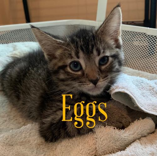 Eggs  Domestic Short Hair (short coat) Male