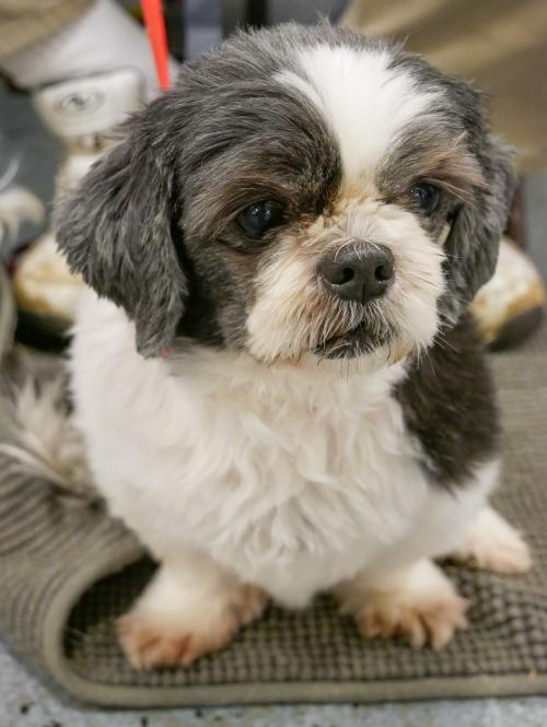 Dixie (with Dusty) Small Shih Tzu (long coat) Female