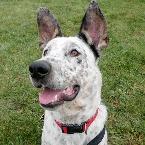 Caesar Large Australian Shepherd / Catahoula Leopard Dog / Mixed (short coat) Male
