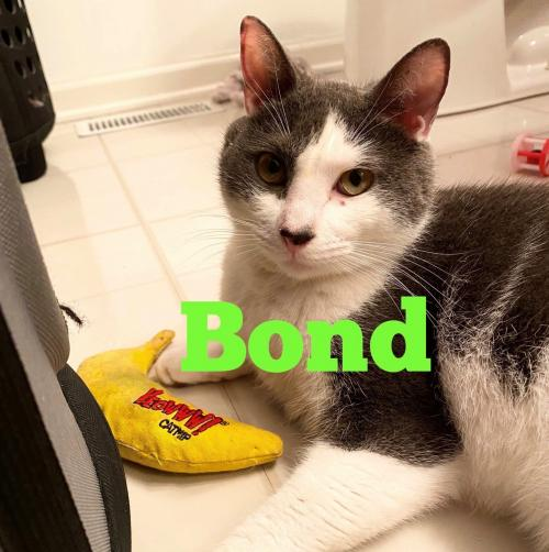 Bond  Domestic Short Hair (short coat) Male