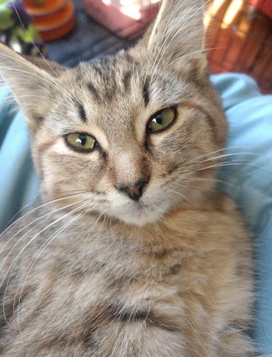Libby  Domestic Short Hair (short coat) Female