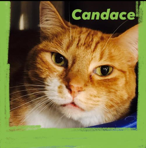 Candace *FOUR PAW DECLAW* Medium Domestic Short Hair (short coat) Female
