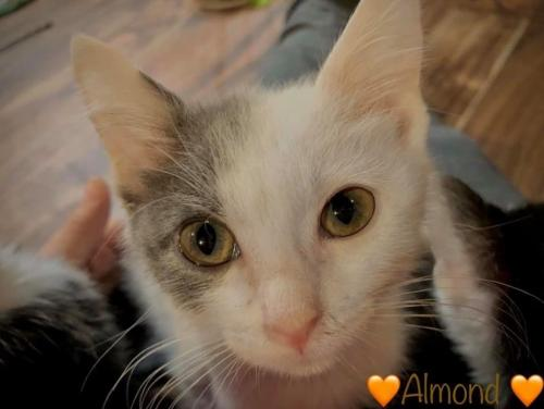 Almond Medium Domestic Short Hair (short coat) Female