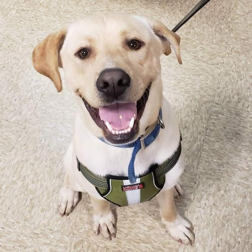 Comet Large Yellow Labrador Retriever / Mixed (short coat) Male