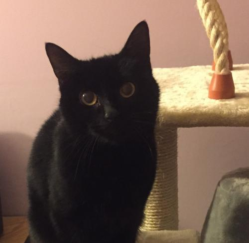 Argos Medium Domestic Short Hair (short coat) Female