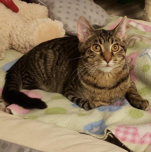 Starlight (with Sparkle) Medium Domestic Short Hair (short coat) Male