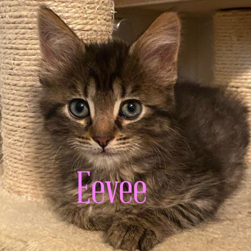 Eevee Medium Domestic Long Hair (long coat) Female