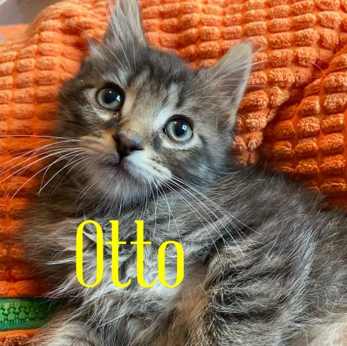 Otto Medium Domestic Long Hair (long coat) Male