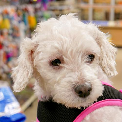 Amber (with Lincoln) Small Bichon Frise / Poodle (Miniature) / Mixed (medium coat) Female
