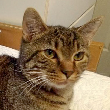 David Bowie  Domestic Short Hair / Tabby (short coat) Male