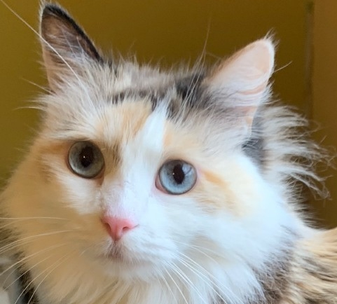 Gina  Domestic Long Hair / Dilute Calico (long coat) Female