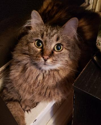 Chewie  Domestic Long Hair / Maine Coon / Mixed (long coat) Female