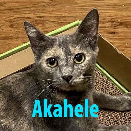 Akahele  Domestic Short Hair / Tortoiseshell (short coat) Female