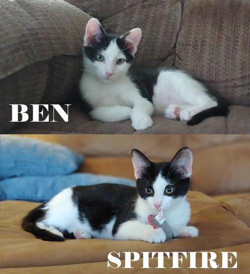 Ben and Spitfire  Domestic Short Hair (short coat) Male