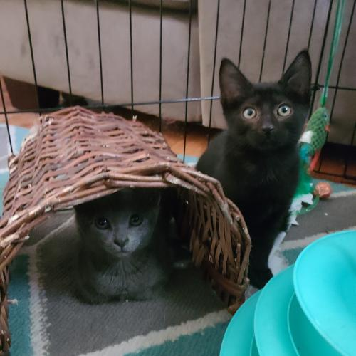 Annie Oakley and Calamity Jane  Domestic Short Hair (short coat) Female