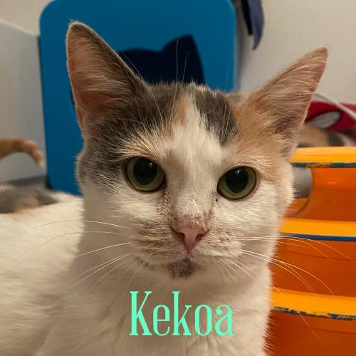 Kekoa  Domestic Short Hair (short coat) Female