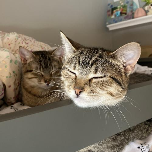 Beau and Maple  Domestic Short Hair (short coat) Male