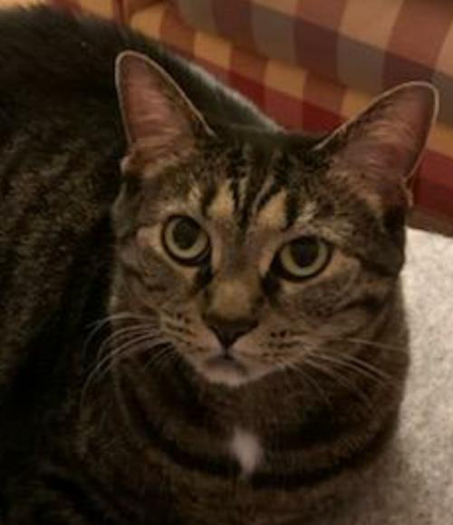 Bailey *FOUR PAW DECLAW*  Domestic Short Hair (short coat) Female