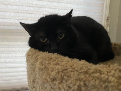 Rascal Medium Domestic Short Hair (short coat) Male