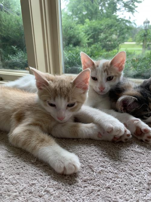 Chowder & Butters  Domestic Short Hair (short coat) Male