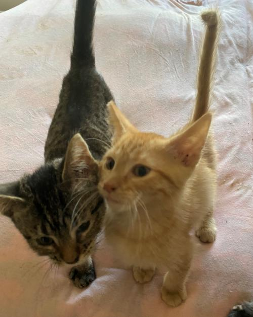 ZAP! and POW! (pair to be adopted together) Medium Domestic Short Hair (short coat) Female