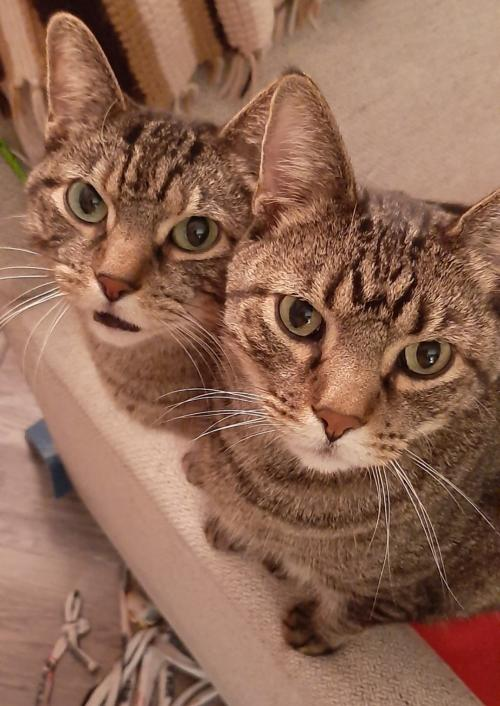Skip and Pip (Front Paw Declaw Bonded Pair) Medium Domestic Short Hair (short coat) Male
