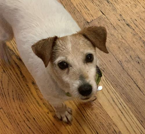 Suzie Q Small Jack Russell Terrier / Mixed (short coat) Female