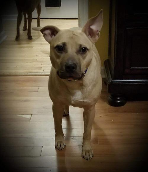 American Staffordshire Terrier / American Pit Bull Terrier / Mixed (short coat)Dog