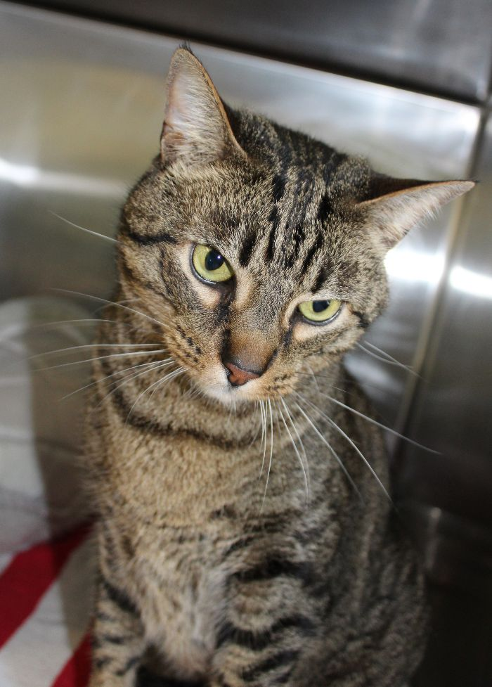 adoptable Cat in Hilton Head Island, SC named Toby