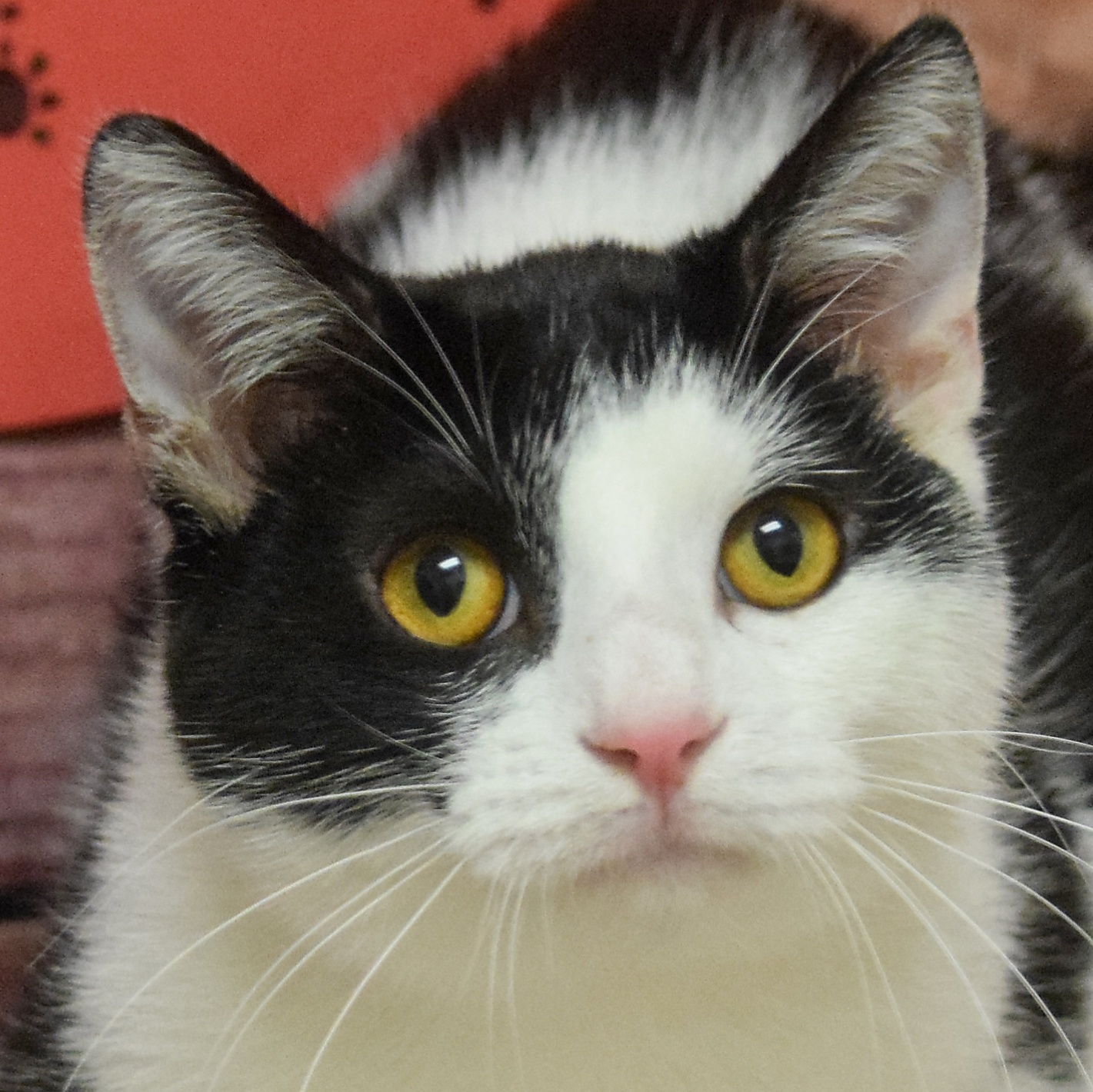 adoptable Cat in Huntley, IL named Vector