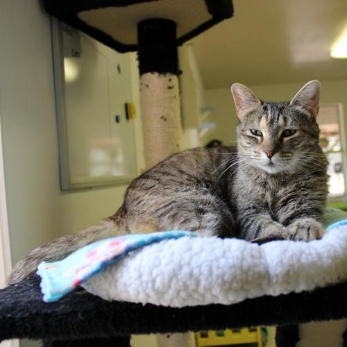 Adoptable Female Domestic Short Hair / Domestic Medium Hair (short coat)