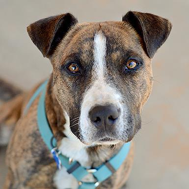 Adoptable Male Boxer / Staffordshire Bull Terrier / Mixed (short coat)