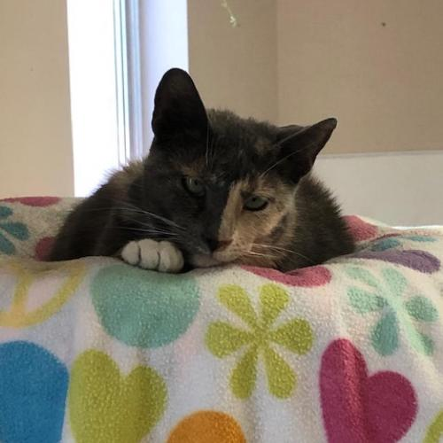 Adoptable Female Domestic Short Hair (medium coat)