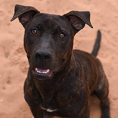 Adoptable Female American Pit Bull Terrier (short coat)