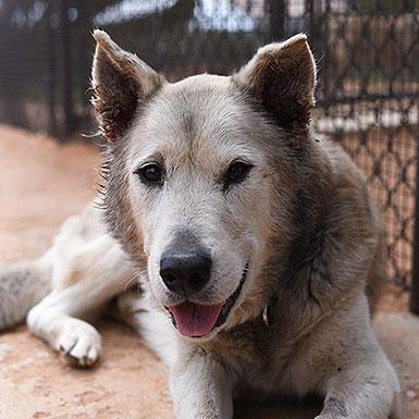 Adoptable Male Siberian Husky / Chow Chow / Mixed (short coat)