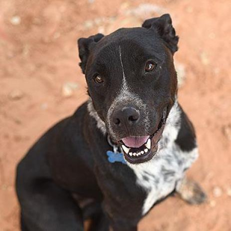 Adoptable Male Labrador Retriever / American Pit Bull Terrier / Mixed (short coat)