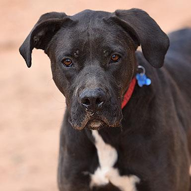 Adoptable Male Boxer / American Staffordshire Terrier / Mixed (short coat)
