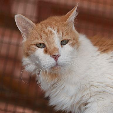 Adoptable Male Domestic Long Hair (long coat)