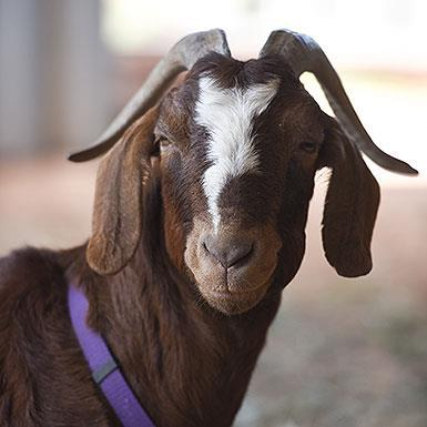 Adoptable Female Goat