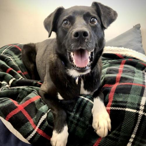 Adoptable Female Labrador Retriever / Collie / Mixed (medium coat)