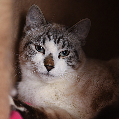 Adoptable Male Domestic Short Hair / Siamese / Mixed (short coat)