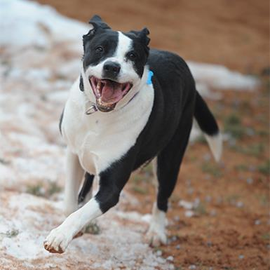 Male Border Collie American Staffordshire Terrier Mixed Short